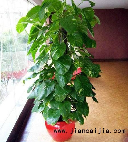 光照原因:菜豆树为喜光植物