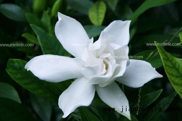 """栀子花,茜草科常绿灌木,它有着青翠的叶片,洁白的花朵,芳香素雅,沁人心脾。栀子花有着非常美丽的传说与花语,它代表了永恒的爱,一生守候和喜悦,那么对于栀子花的养殖方法和注意事项不知大家了解多少呢?下面就让我们一起来看看吧。 seline; color: rgb(85, 85, 85); font-family: Arial; line-height: 24px; text-indent: 25px;""""> 栀子花生长习性  seline;"""">2015植物摆放技巧!最新植物资讯大全! 点击了解>&"""