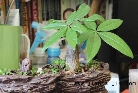 """发财树,又名为马拉巴栗,寓意着养此树有发财之意,因此很多人都愿意在家里种植一棵这样的树,在现在这个快节奏的生活中,并不是每个人都有那么多时间去打理这些植物,因此它也会生病,出现叶子发黄等症状,今天就让我们一起学习发财树叶子发黄怎么办吧。 seline; color: rgb(51, 51, 51); font-family: 宋体, Arial, Helvetica, sans-serif; line-height: 24px; text-indent: 28px;""""> seline; color:"""